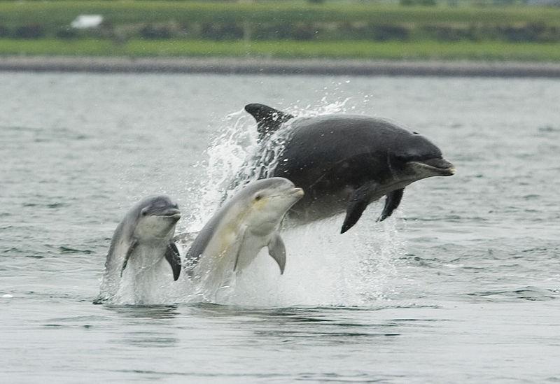 Dolphin_-calves-Morey_Firth_(C)_Asprey.jpg
